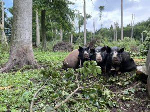 Drie bosvarkens Landgoed Zuylestein omgekomen bij noodweer Leersum